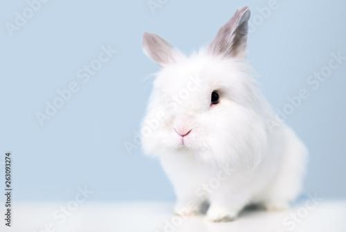 A fluffy white Jersey Wooly rabbit Wallpaper Mural