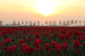 Fototapetaorange sunset over a red bulb field with tulips in holland