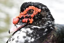 Close Up Of A Muscovy Duck (cairina Moschata)
