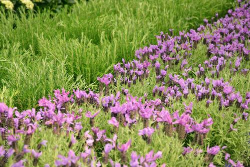 Lawenda i rozmaryn pole kwiatowe - 263105420
