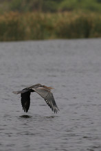The African Darter, Sometimes ...
