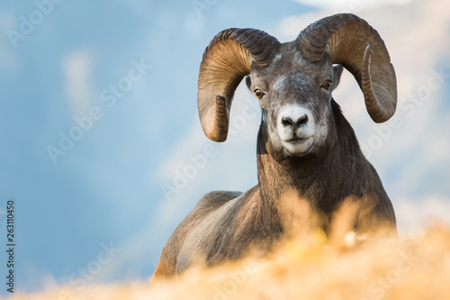 Fotobehang Schapen Bighorn Rams in the Rocky Mountains