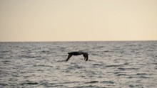 Pelican Flying And Diving For Fish Over The Sea At Captiva Island Florida