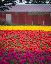 Tulip Fields Of Mount Vernon Washington State