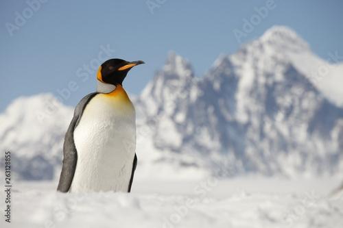 La pose en embrasure Pingouin King penguin on South Georgia Island