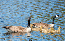 A Family Of Canada Geese. There Are Two Adults, And Five Baby Goslings. They Are All Swimming In Water, The Adults Keeping Close Watch. Focus Is On The Babies. There Is Room For Text.