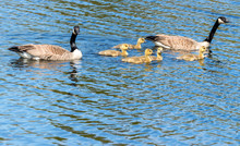 A Family Of Canada Geese. There Are Two Adults, And Five Baby Goslings. They Are All Swimming In Water, The Adults Are Keeping Close Watch. Focus Is On The Babies. There Is Room For Text.