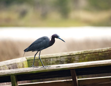 A Little Blue Heron Perched On...