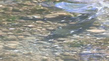 Salmon Swimming In Spawning Grounds