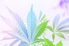Marijuana Leaves On Light, Cannabis Vegetation Plants, Hemp Marijuana CBD, Marijuana Legalization, Indoor Grow Cannabis Indica, White Background Cultivation Cannabis, Light Leaks Light Leaks