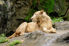 Image Of A Male Lion Relax On ...