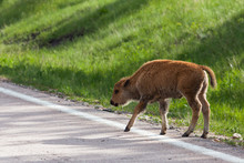 Baby Bison By The Road