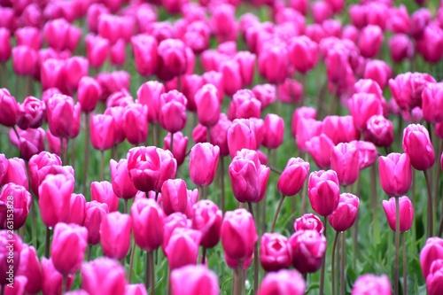 Poster Rose スカジット バレ- チュ-リップ フェスティバル ワシントン州 アメリカ Skagit valley tulip festival