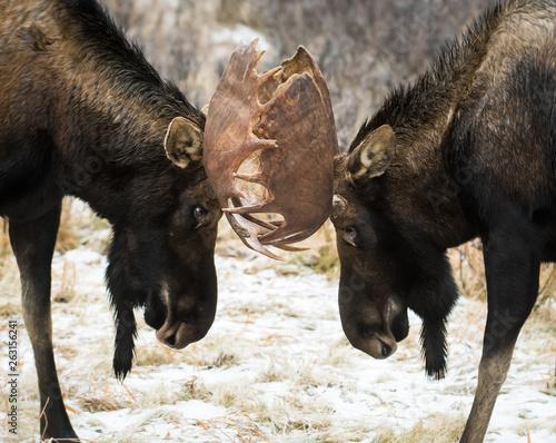 Fototapeta Bull moose during the rut