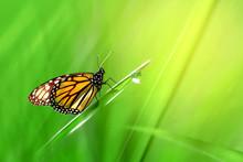 Monarch Orange Beautiful Butte...