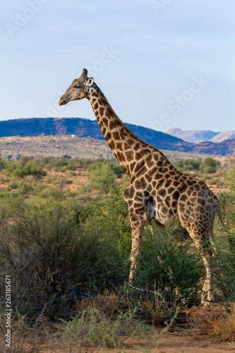 Poster Giraffe giraffe national parks of namibia between desert and savannah