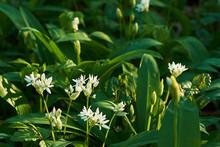 View Of White Wild Garlic Flow...
