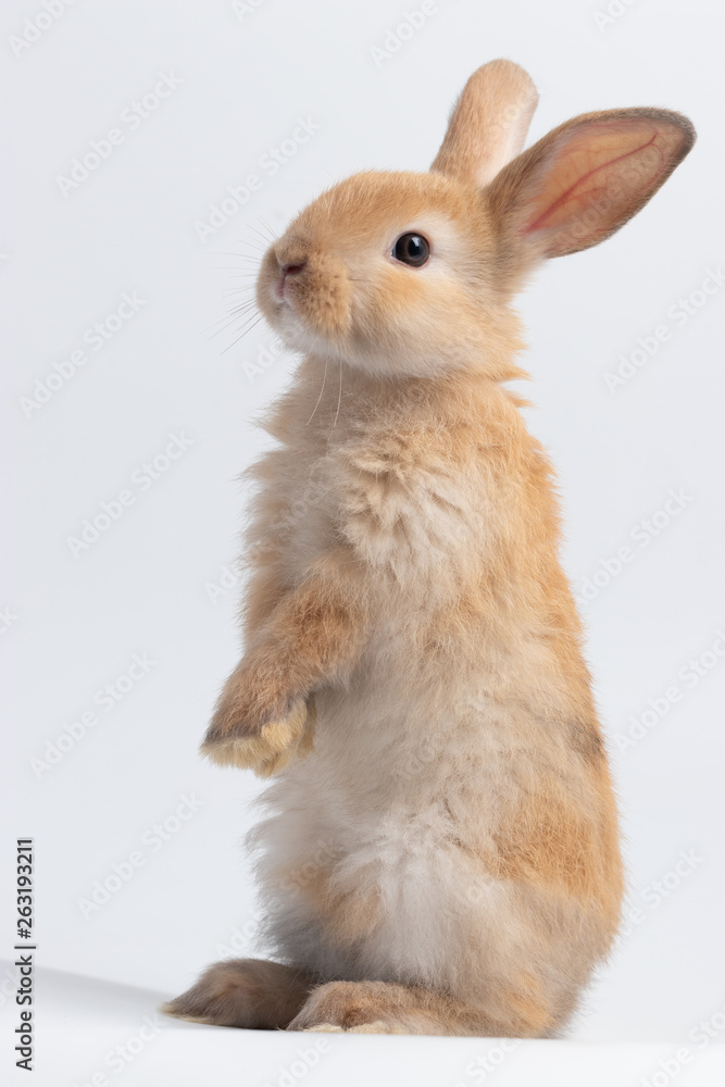Fototapety, obrazy: Little brown rabbit standing on isolated white background at studio. It's small mammals in the family Leporidae of the order Lagomorpha. Animal studio portrait.