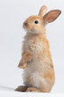 Little brown rabbit standing on isolated white background at studio. It's small mammals in the family Leporidae of the order Lagomorpha. Animal studio portrait.