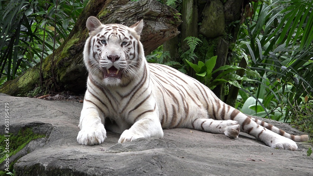 Fototapeta White tiger (Panthera tigris) resting in the jungle