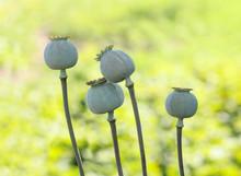 Four Poppy Seed Pods
