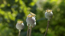 Close-up Poppy Seed Pods