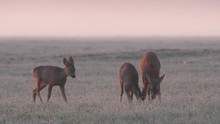 Roe Deer. Female With Two Fawns In Frosty Morning. Capreolus Cervus.