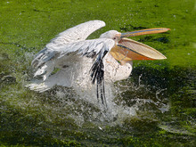 Closeup Of White Pelican (Pelecanus Onocrotalus) On The Water, The Open Beak, Shaking Its Wings Creating Sprays Of Water