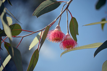 Two pink blossoms of the Australian native mallee tree Eucalyptus caesia, subspecies magna, family Myrtaceae, under a blue sky. Common name is Silver Princess. Endemic to south west Western Australia.