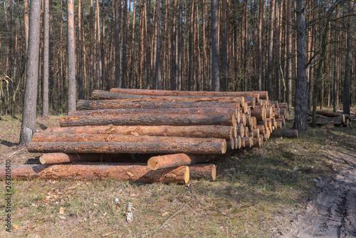 Obraz Sterta ściętego drzewa w lesie. - fototapety do salonu