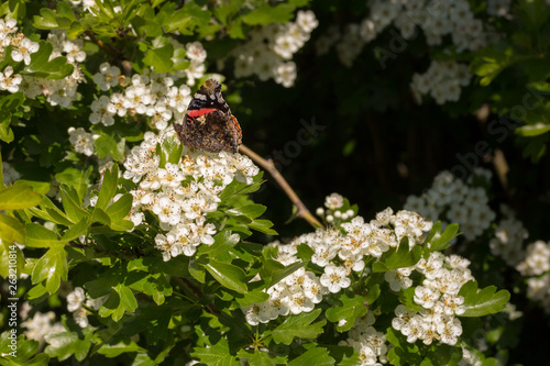 Grayling Butterfly posing on top of a blooming flower in spring Tablou Canvas
