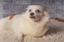 Little Relaxed Dog Lying On Carpet Little White Dog With Blue Eyes Lying On Light Carpet At Home