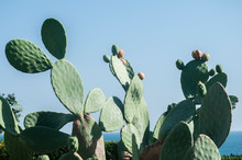 Opuntia Prickly Pear Cactus Plant With Fruit Closeup As Floral Background In Sunny Day