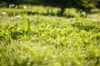 field of dandelions with dew. smal GRIP