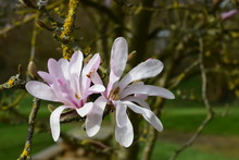 Splendide Fleur De Magnolia étoilé Rose Dans Ce Parc à Availles Sur Seiche Dans Le Département De L'Ile Et Vilaine En Bretagne