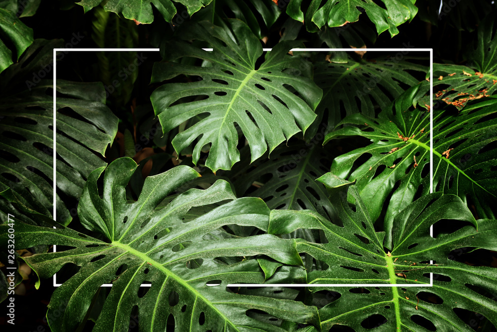 Fototapety, obrazy: tropical monstera leaf texture, foliage nature green background