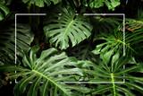 Fototapeta Kwiaty - tropical monstera leaf texture, foliage nature green background