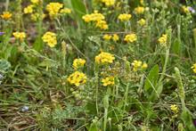 Lesquerella Gordonii, Gordon's Bladderpod Texas Wildflower