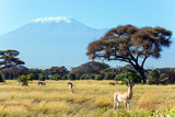 Fototapeta Sawanna - African antelope tsessebe