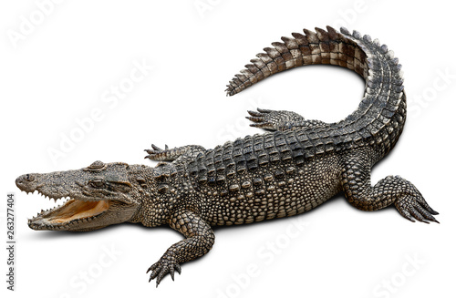 Fotografía Wildlife crocodile isolated on white background with clipping path