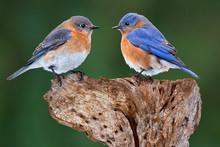 A Bluebird Pair