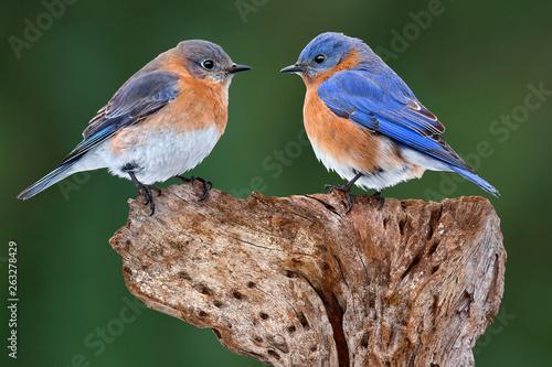Valokuva A Bluebird Pair