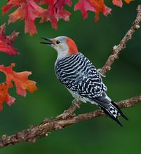 Red-bellied Woodpecker On Bran...