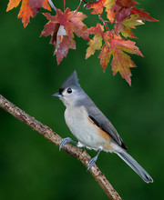 Tufted Titmouse Under Colorful...