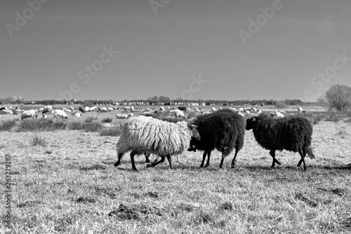 Foto op Canvas Schapen Sheep in the field, Groningen - Netherlands
