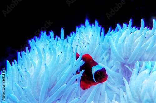 Pinturas sobre lienzo  Red Goldenflake maroon Clownfish in relationship with white Sabae Anemone