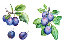 Collection Of Watercolor Plum ...
