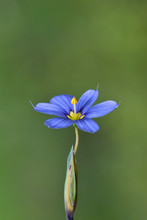 A Colorful Blue-Eyed Grass Wildflower (Sisyrinchium) Isolated Against A Green Nature Background With Negative Space Around It.