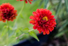 Beautiful Dehlia Flower Portrait