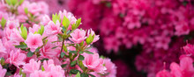 Pink Azalea Flowers Background...